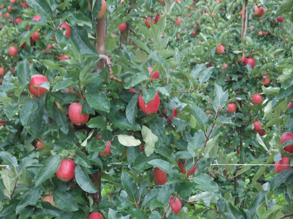 Äpfel Etschweg