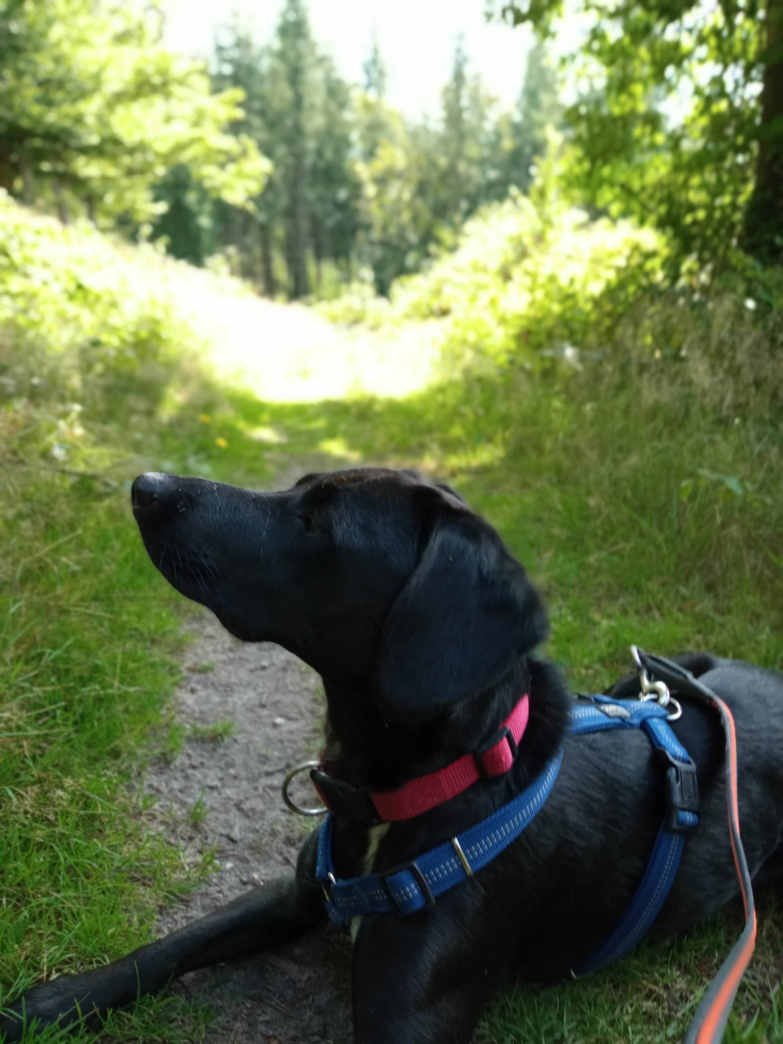 Wanderweg 7 Brekendorfer Forst Labrador Lotta